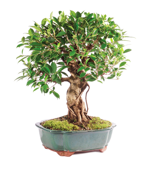 bonsai tree corporate gift